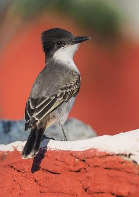 Bahamatyrann (Loggerhead Kingbird)