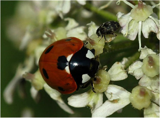 Der Siebenpunkt ist aber die häufigste Marienkäferart. Er wird bis 8 mm groß.