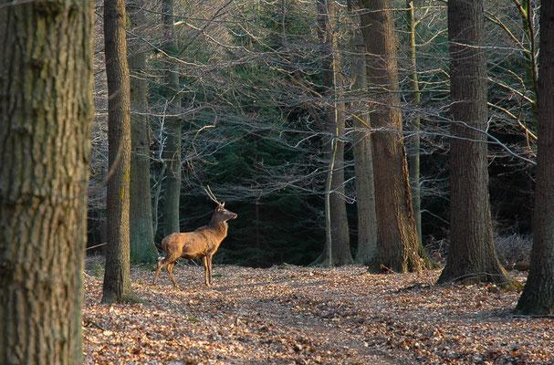 Im September/Oktober hört man die Rothirsche lange bevor man sie sieht.