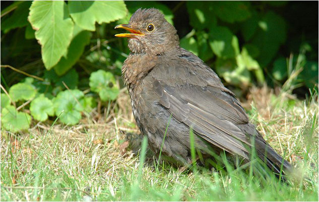 AMSEL, COMMON BLACKBIRD, TURDUS MERULA