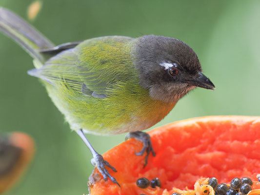 BRAUNKOPFTANGARE, COMMON BUSH-TANAGER, CHLOROSPINGUS OPHTHALMICUS