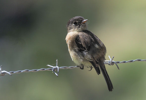 KAPUTZENTYRANN, BLACK-CAPPED FLYCATCHER, EMPIDONAX ATRICEPS