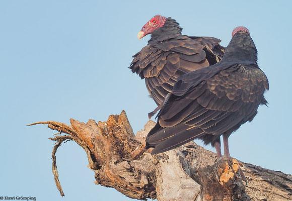 Truthahngeier (Turkey Vulture)