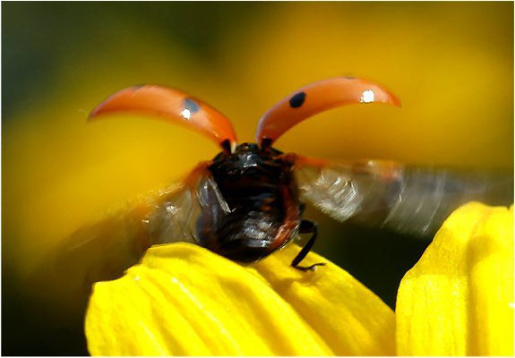 Elegant sieht es nicht aus, wenn der Käfer fortfliegt...