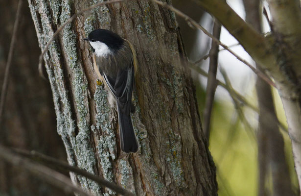 SCHWARZKOPFMEISE, BLACK-CAPPED CHICKADEE, POECILE ATRICAPILLUS