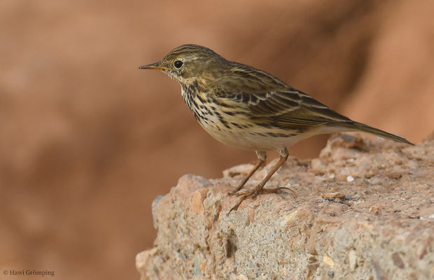 WIESENPIEPER, MEADOW PIPIT, ANTHUS PRATENSIS