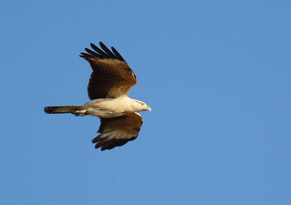 GELBKOPFKARAKARA, YELLOW-HEADED CARACARA, MILVAGO CHIMACHIMA