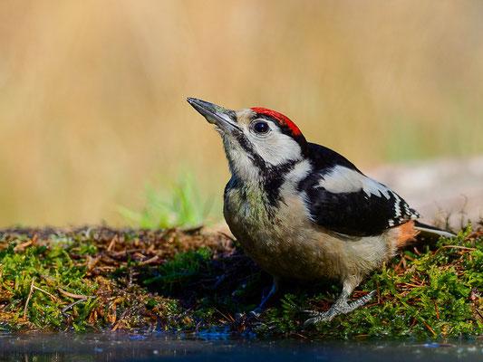 Unsere weiteren neun heimischen Spechtarten gehören alle zur dritten Unterfamilie, den Echten Spechten  (Picinae). Die bei weitem häufigste Art ist der Buntspecht, hier ein Jungvogel, der eine rote Kopfplatte hat.