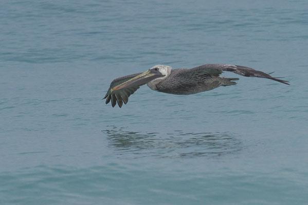 Vorbeifliegender Pelikan