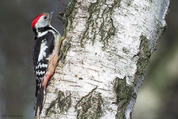 Beim männlichen Mittelspecht reicht der rote Scheitel weiter nach hinten als beim Weibchen.