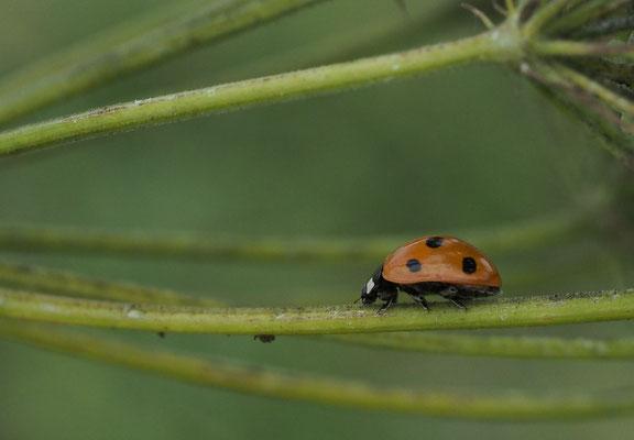 Siebenpunkt-Marienkäfer, Coccinella septempunctata