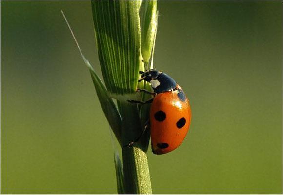 Der Siebenpunkt ist ein häufiger Marienkäfer.