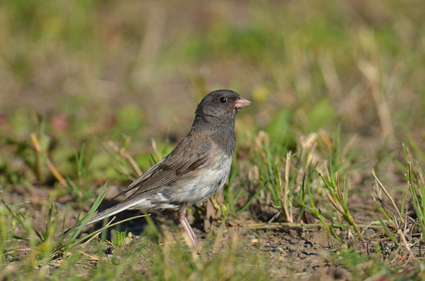 JUNCO, DARK-EYED JUNCO, JUNCO HYEMALIS
