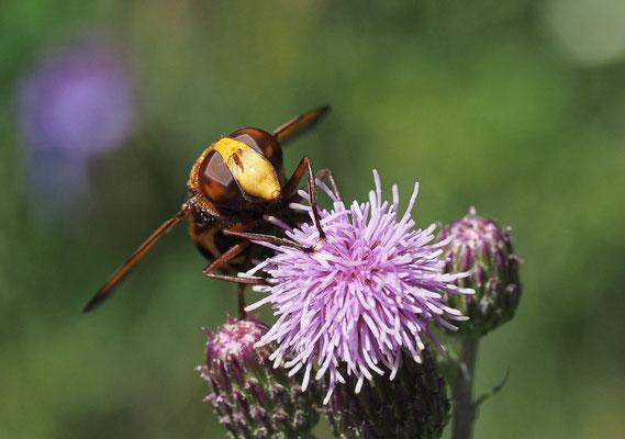 Große Waldschwebfliege (Hornissenschwebfliege), Volucella zonaria