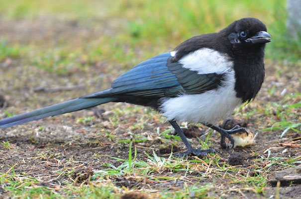 SCHWARZSCHNABELELSTER, BLACK-BILLED MAGPIE, PICA HUDSONIA