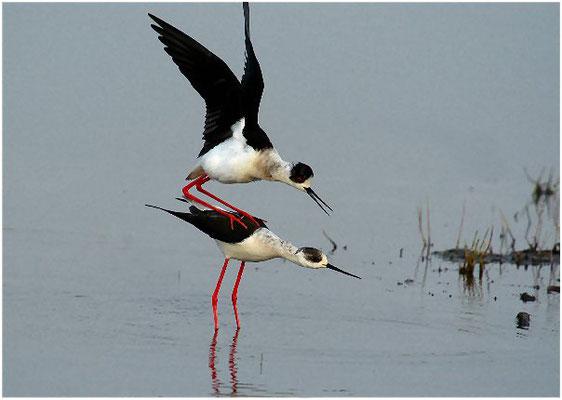Und dann besteigt das Männchen das Weibchen von der linken Seite aus.