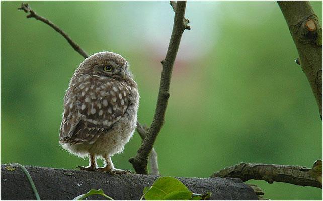 STEINKAUZ, LITTLE OWL , ATHENE NOCTUA