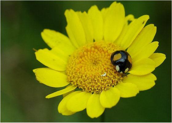Adalia decempunctata, der Zweipunkt,  ist eine häufige Art, die 3,5- 5mm lang wird. Man findet den Zweipunkt auf Gebüsch und in Laubbäumen.