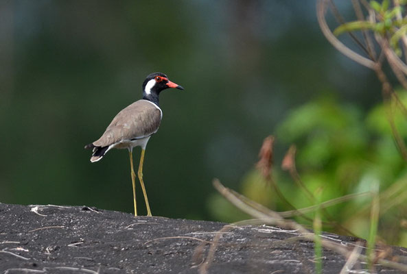 ROTLAPPENKIEBITZ, RED-WATTLED LAPWING, VANELLUS INDICUS