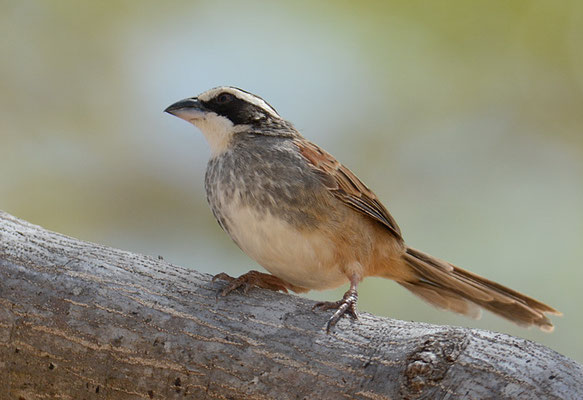 ROTSCHWANZAMMER, STRIPE-HEADED SPARROW, AIMOPHILA RUFICAUDA
