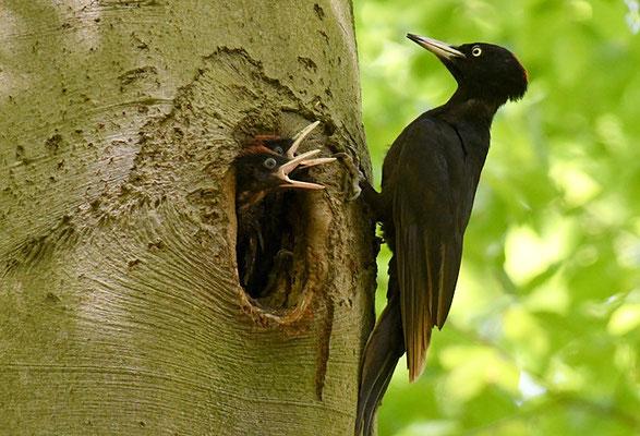Das fütternde Weibchen  hat nur einen roten Hinterscheitel, während beim Männchen der gesamte Scheitel rot ist. Auch der Schwarzspecht gehört zur Unterfamilie der Echten Spechte (Picinae) und gehört der Gattung der Schwarzspechte (Dryocopus) an.