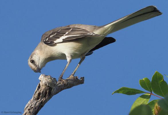 SPOTTDROSSEL, NORTHERN MOCKINGBIRD, MIMUS POLYGLOTTUS
