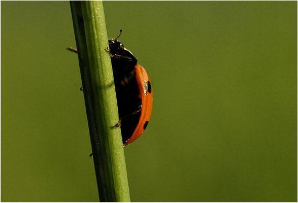Ständig laufen die Käfer auf der Suche nach Blattläusen Grashalme hoch …