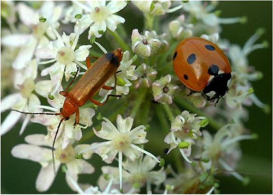 Während der Rotgelbe Weichkäfer Nektar frisst, bevorzugt der Marienkäfer Läuse.