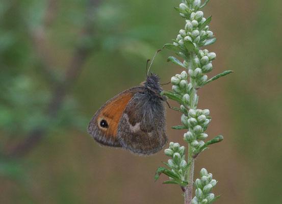 Kleiner Heufalter (Kleines Wiesenvögelchen), Coenonympha pamphilus