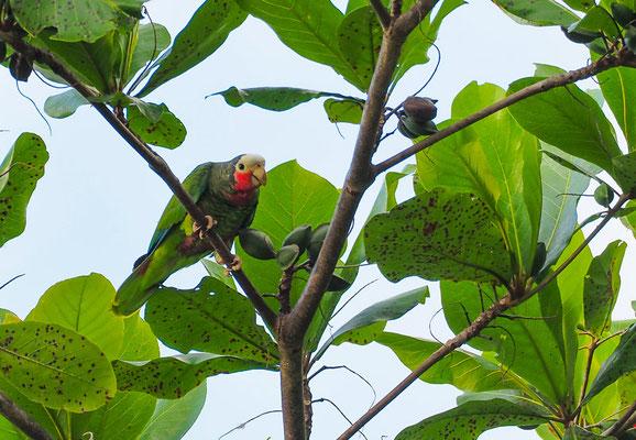 Die Kuba-Amazone ist endemisch in Kuba und selten geworden.