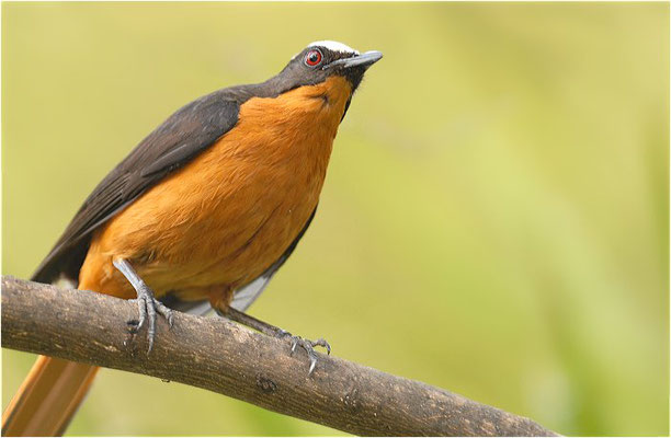 SCHUPPENKOPFRÖTEL, WHITE-CROWNED ROBIN-CHAT, COSSYPHA ALBICAPILLA