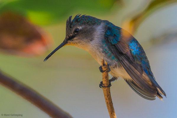 Bienenelfe, Bee hummingbird, Melisuga helenae