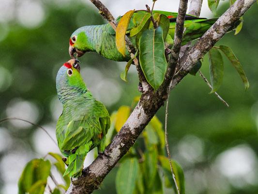 GELBWANGENAMAZONE, RED-LORED PARROT, AMAZONA AUTUMNALIS