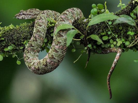 Schlegelsche Lanzenotter (Bothriechis schlegelii): Am Tage sind diese Schlangen überaus beißfaul. In der Nacht  sind sie aktiv und beißen sofort und sehr schnell zu.