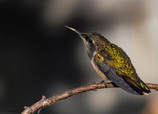 VULKANELFE, VULCANO HUMMINGBIRD, SELASPHORUS FLAMMULA