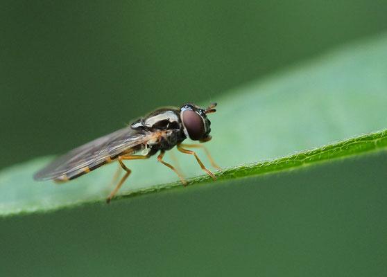 Glänzende Schwarzkopf-Schwebfliege, Melanostoma mellinum