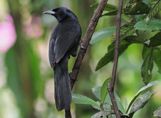 TRAUERSTÄRLING, MELODIOUS BLACKBIRD, DIVES DIVES
