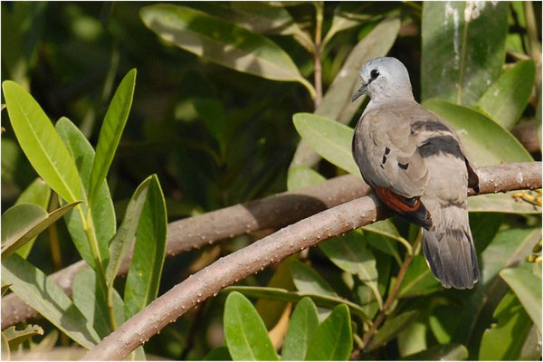 ERZFLECKTAUBE, BLACK-BILLED WOOD DOVE, TURTUR ABYSSINICUS