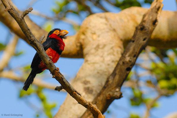 Drei Familien gehören zur Unterordnung der Spechtvögel: die Bartvögel (Capitonidae), die Honiganzeiger (Indicatoridae) und die Spechte (Picidae)- hier der Furchen-Bartvögel (Bearded barbet- Lybius dubius).