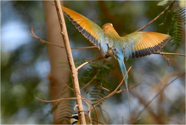 WEISSKEHLSPINT, WHITE-THROATED BEE-EATER, MEROPS ALBICOLLIS