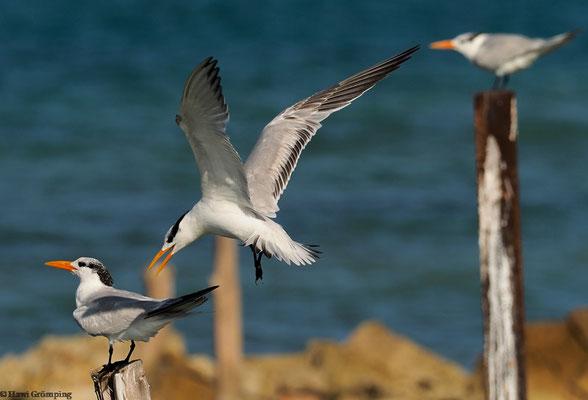 Königsseeschwalben (Royal Tern)