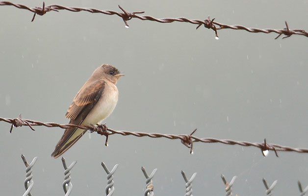 GRAUKEHLSCHWALBE, ROUGH-WINGED SWALLOW, STELGIDOPTERYX SERRIPENNIS