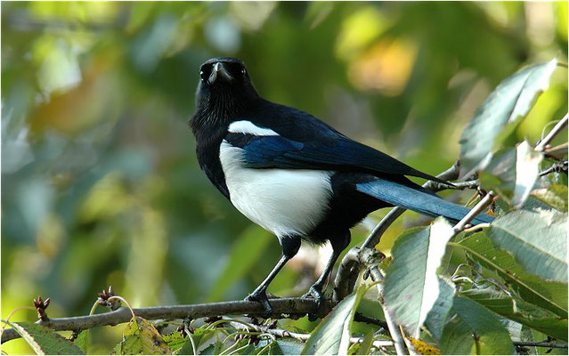 ELSTER, MAGPIE, PICA PICA