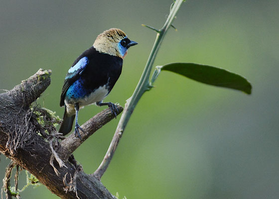 PUPURMASKENTANGARE, GOLDEN-HOODED TANAGER, TANGARA LARVATA