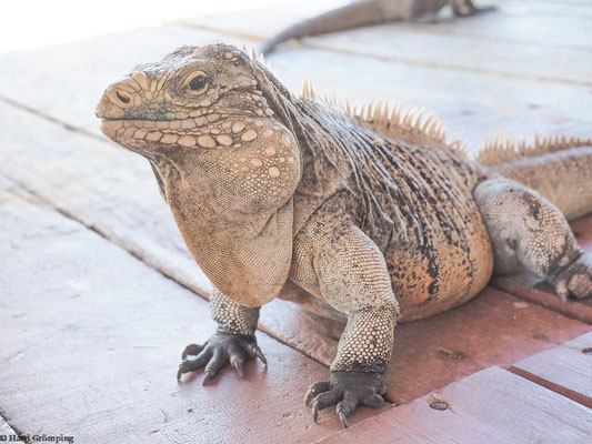 Kubanischer Leguan auf Cayo Iguana