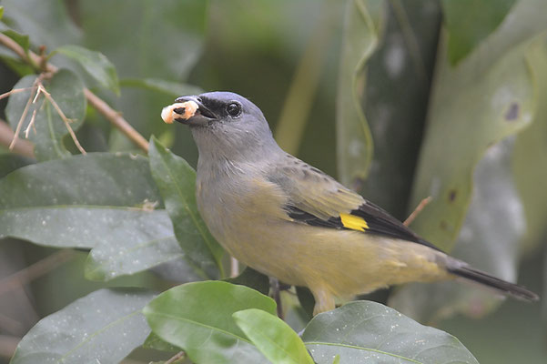Abttangare, Yellow-winged tanager, Thraupis abbas