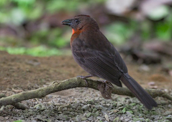 ROTKEHL-AMEISENTANGARE, RED-THROATED ANT-TANAGER, HABIA FUSCICAUDA