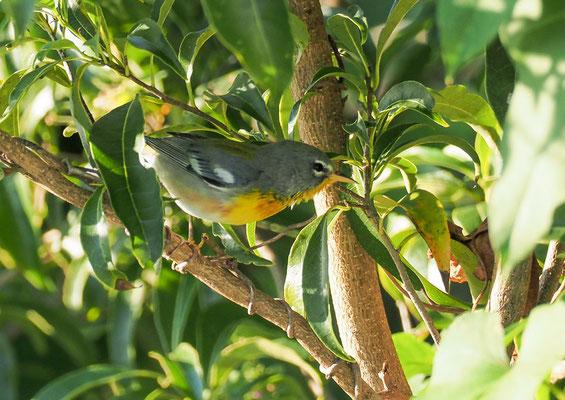 Der Meisenwaldsänger brütet in Nordamerika und verbringt den Winter im tropischen Kuba.