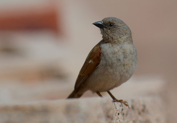 DAMARASPERLING, SOUTHERN GREY-HEADED SPARROW, PASSER GRISEUS