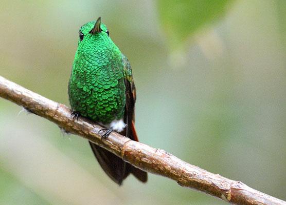 Beryllamazilie, Berylline hummingbird, Amazilia beryllina